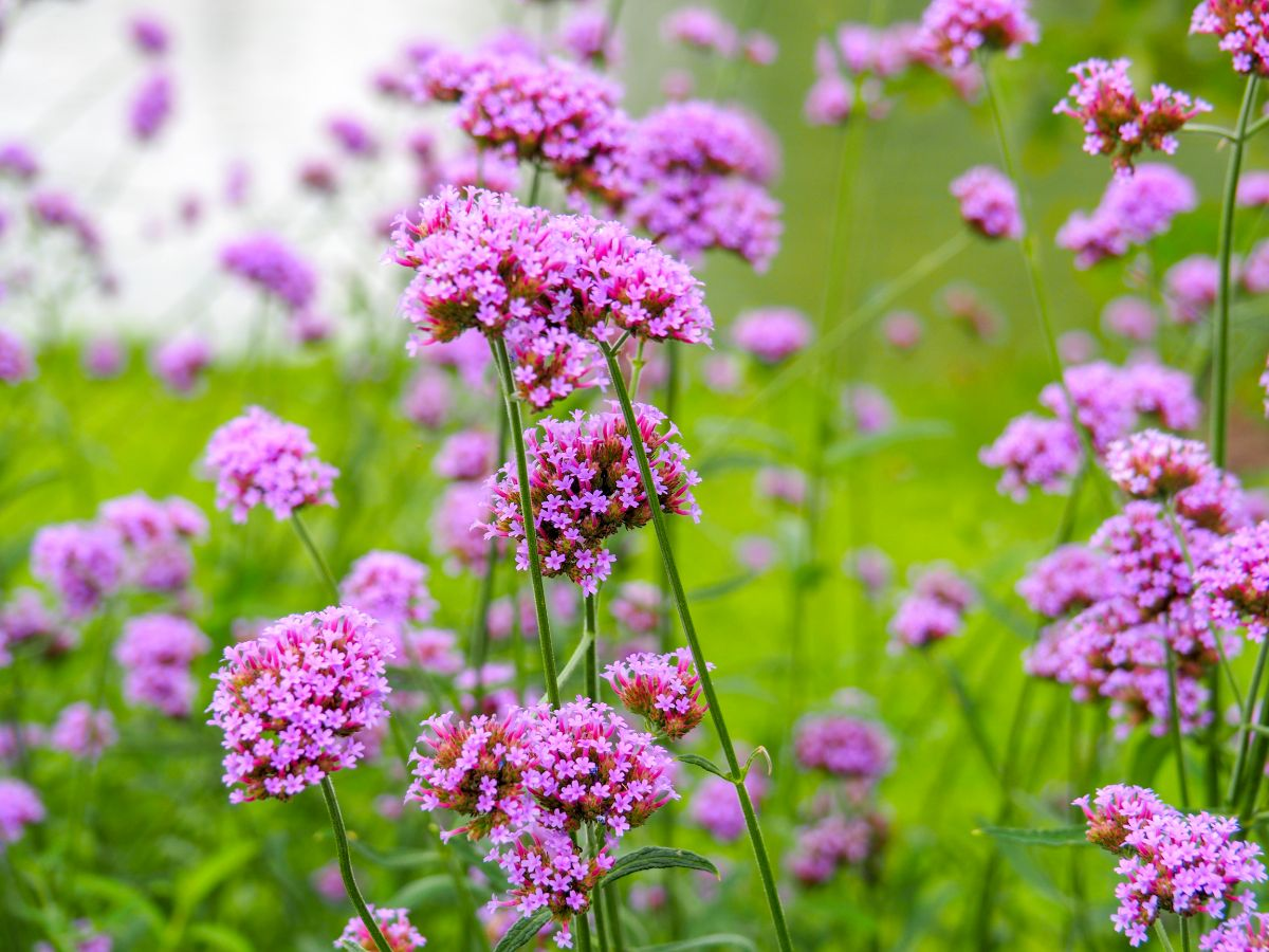 purple verbena flower