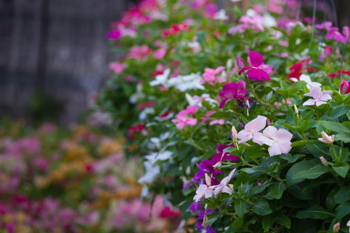 colorful vinca flowers in the garden