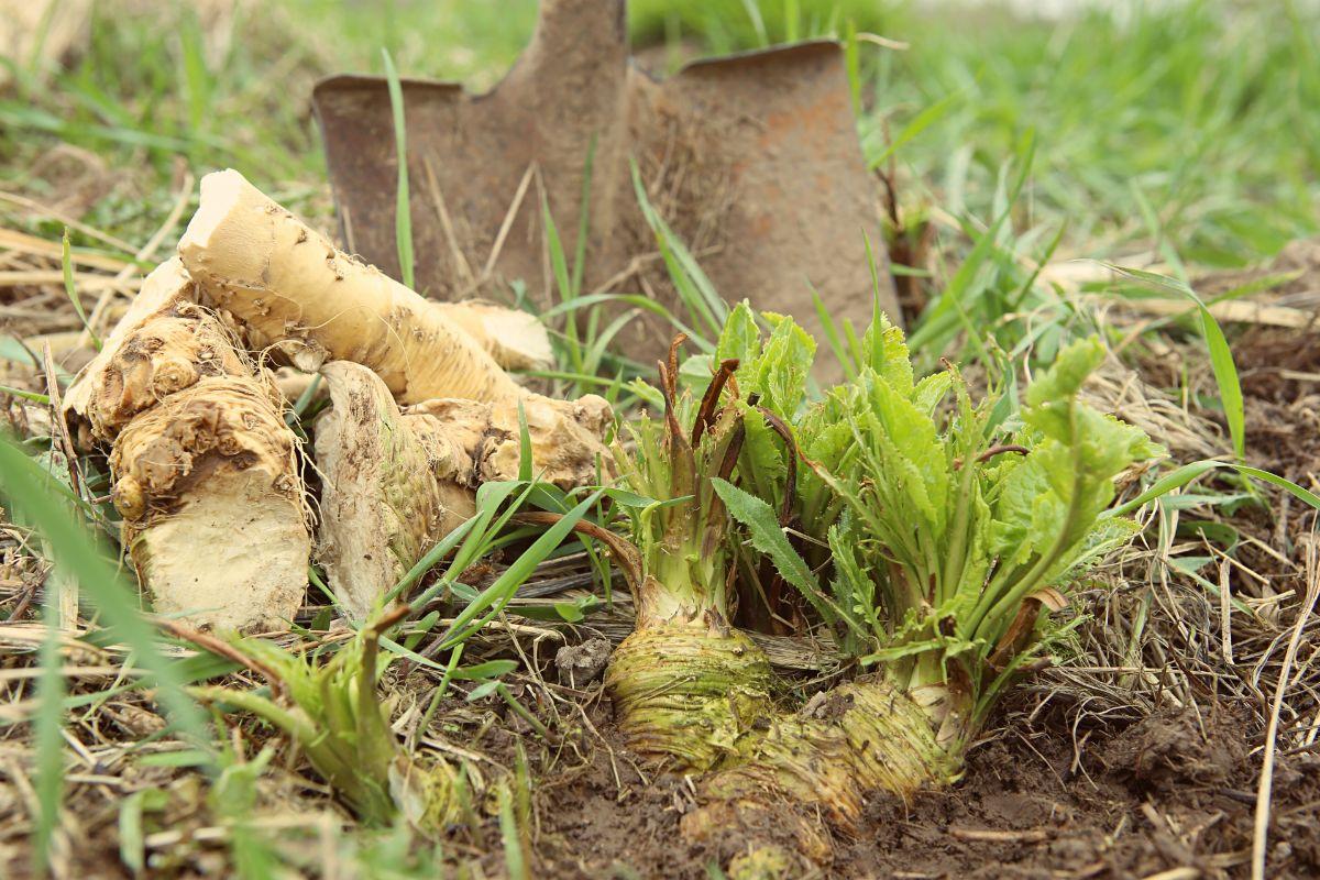 Ready to harvest Horseradish