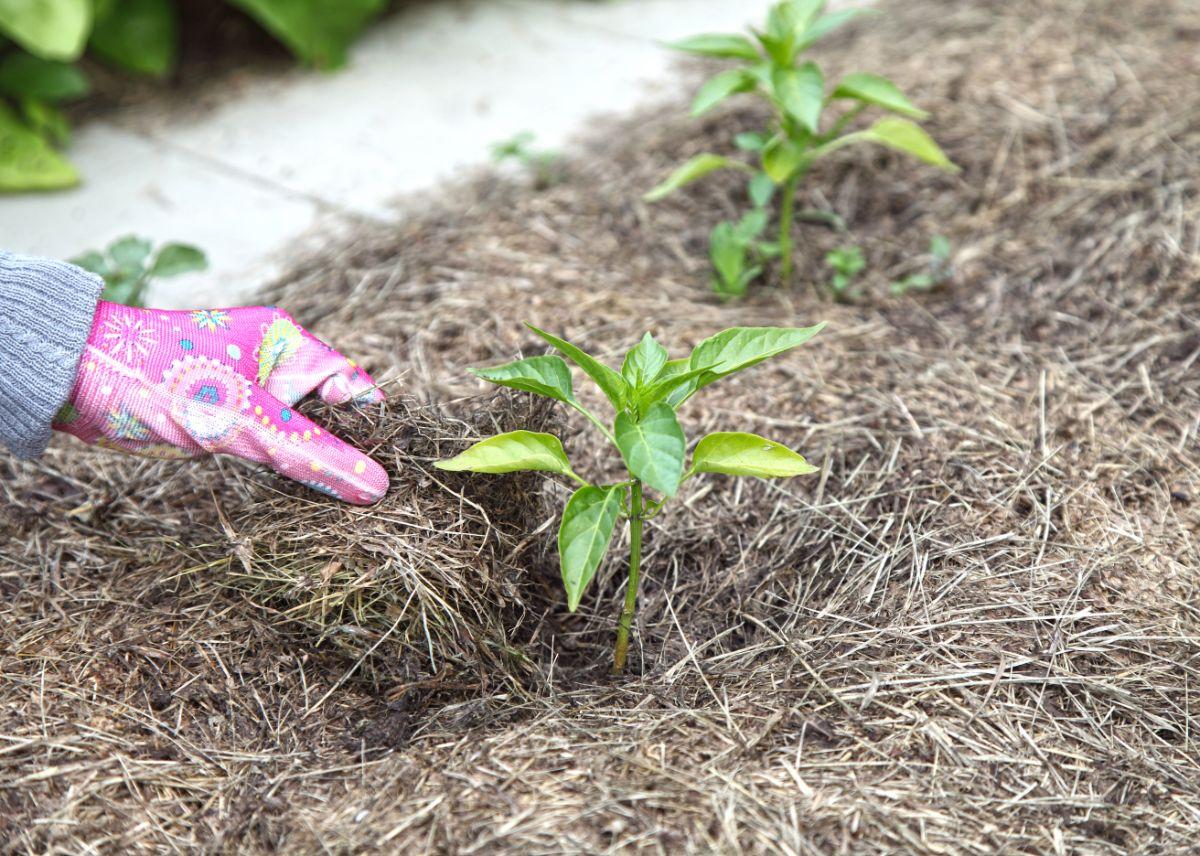 mulching pepper plant for moisture