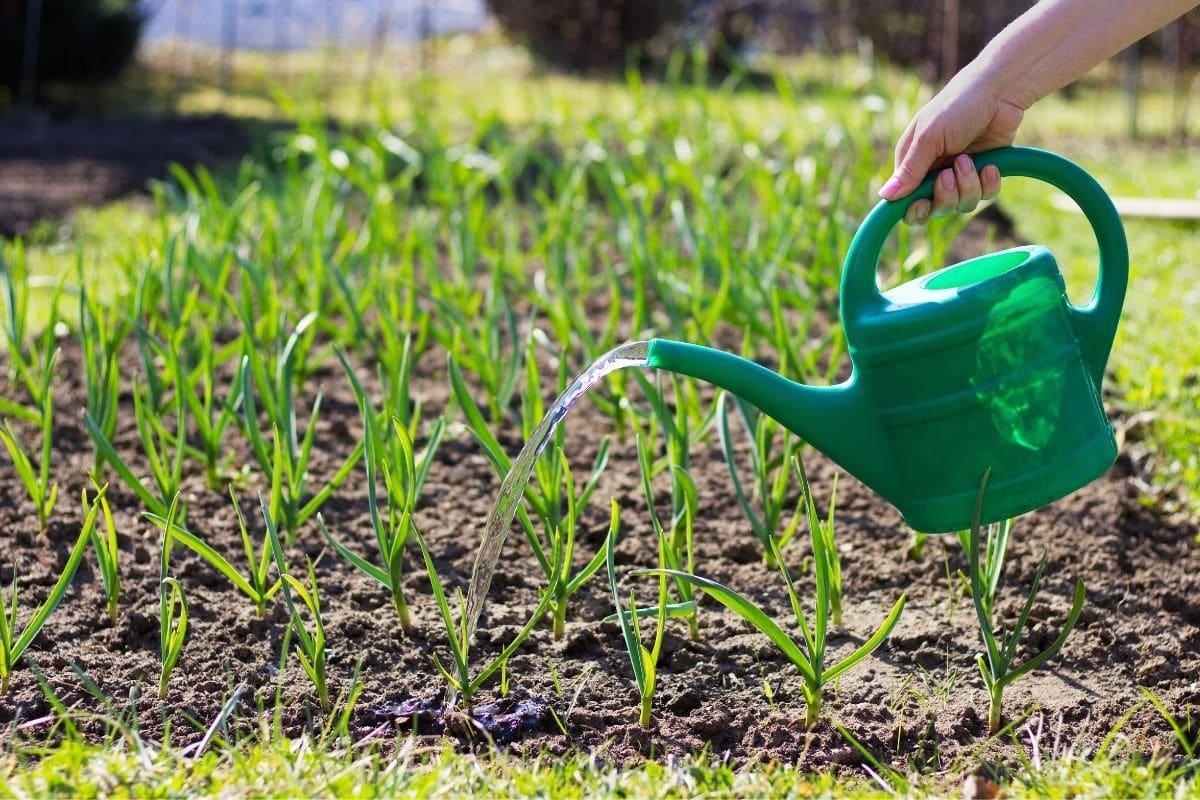 watering growing garlic plants in the garden