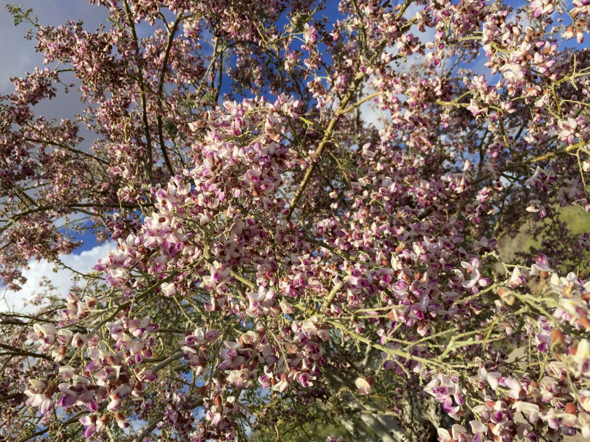 anacacho orchid tree blooming with flowers