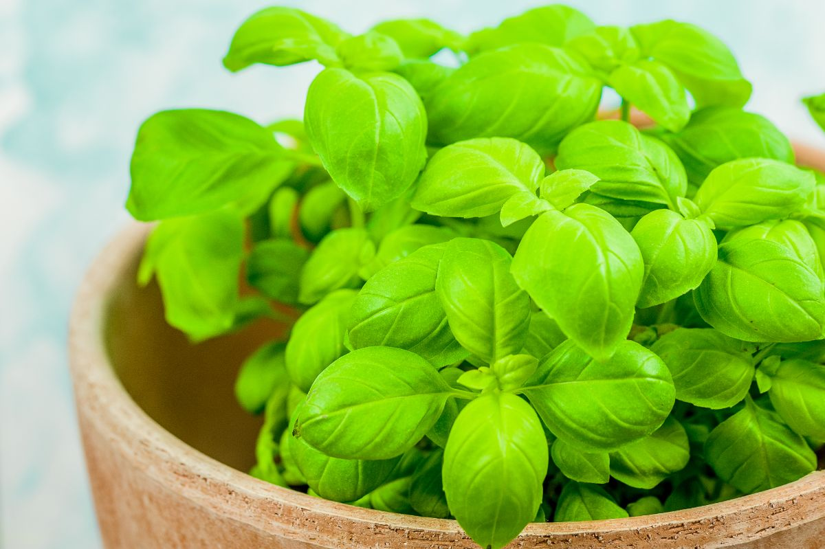 basil plant in a flower pot