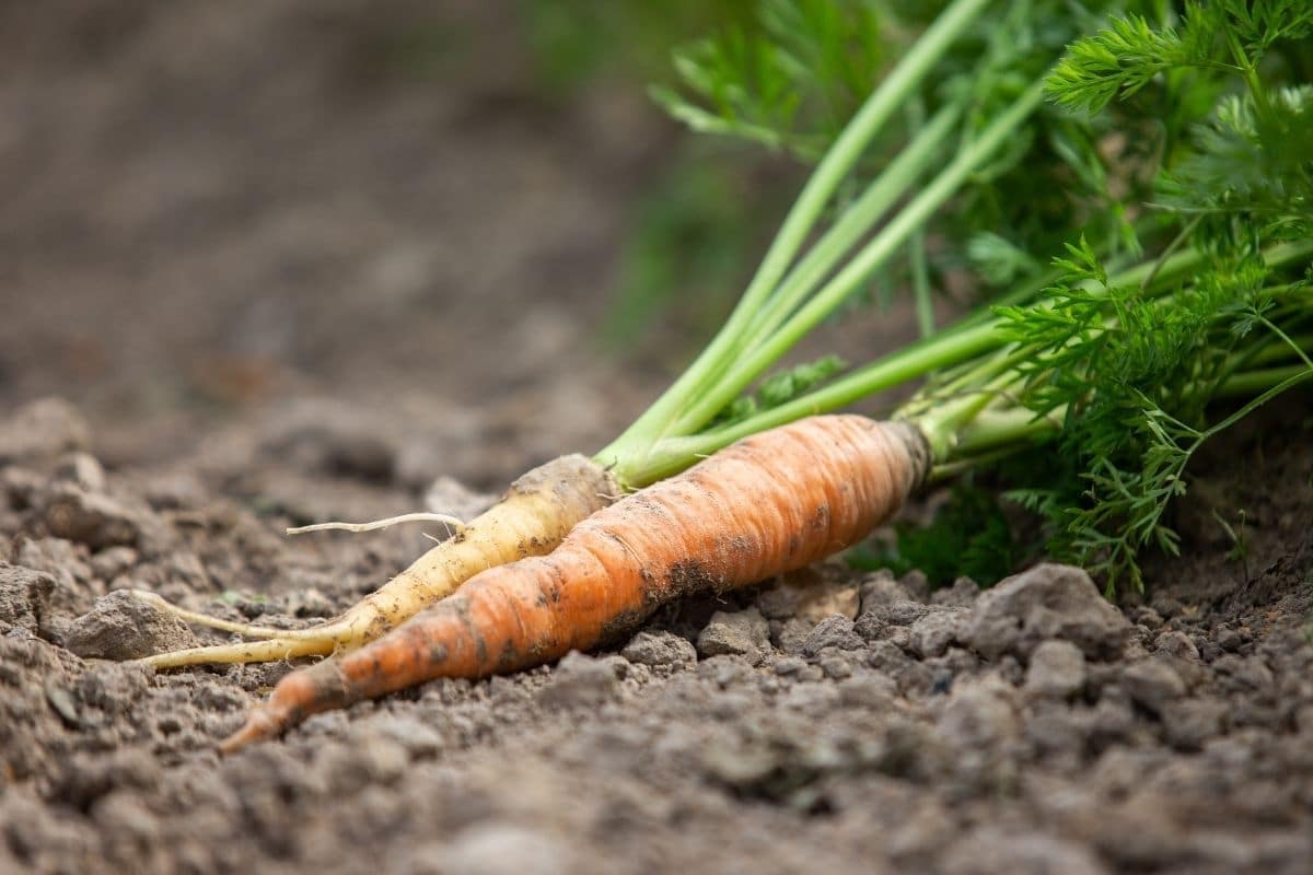 freshly harvested carrot greens laying in the garden