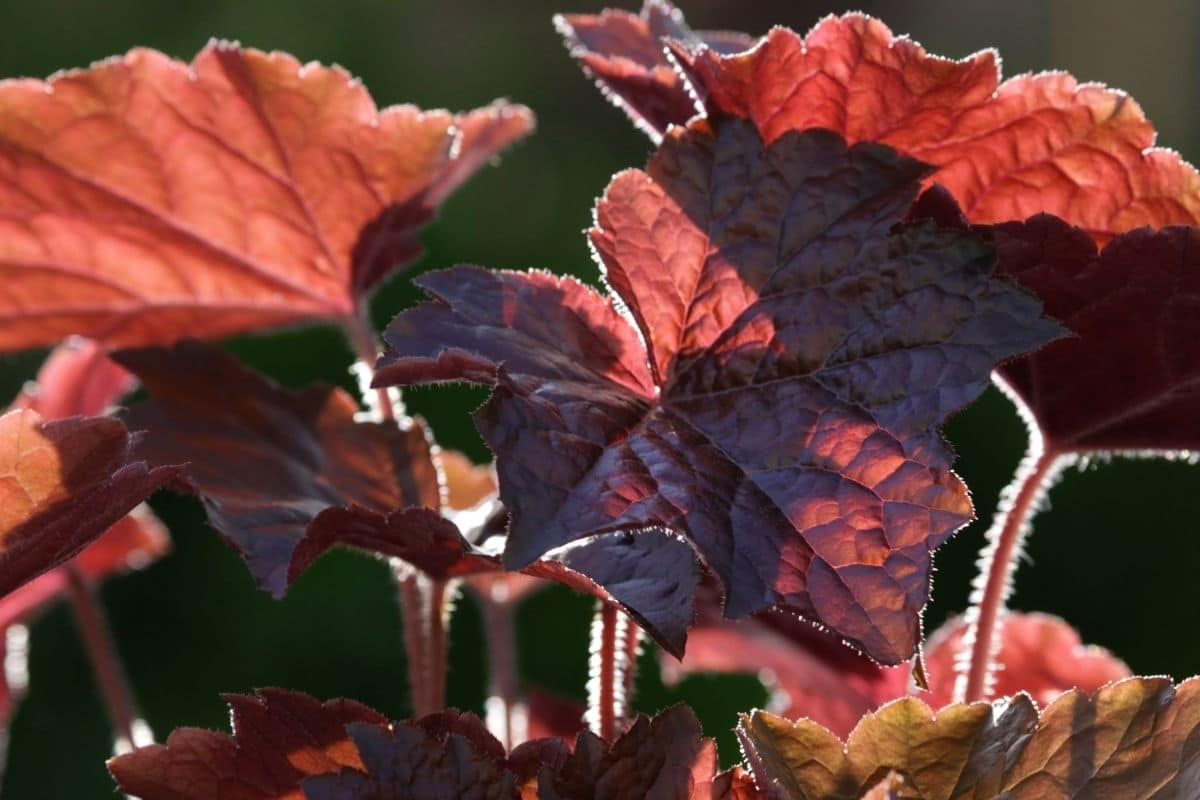 red coral bells leaves under the sunlight