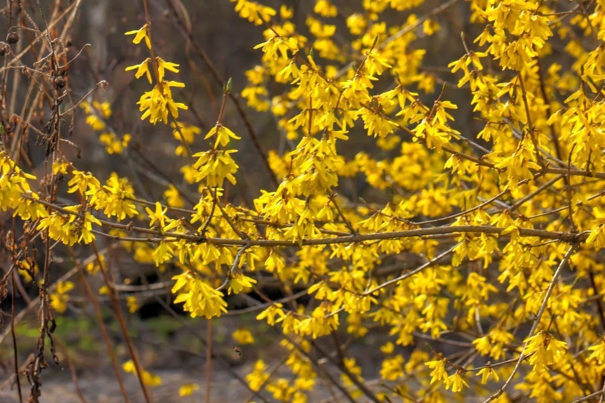 Golden Forsythia flowers