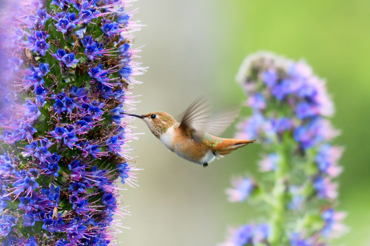 hummingbird feeding in a pride of madeira flower