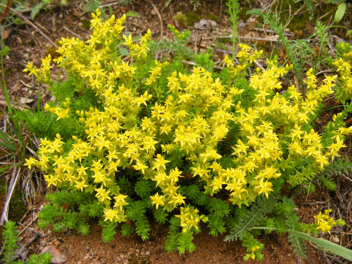 yellow sedum flower