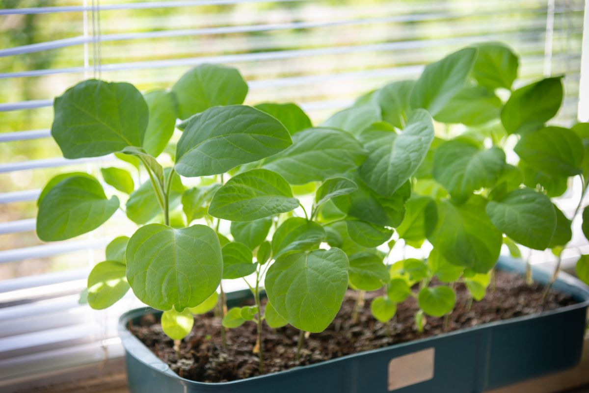 green leaf of eggplant in a pot by the window