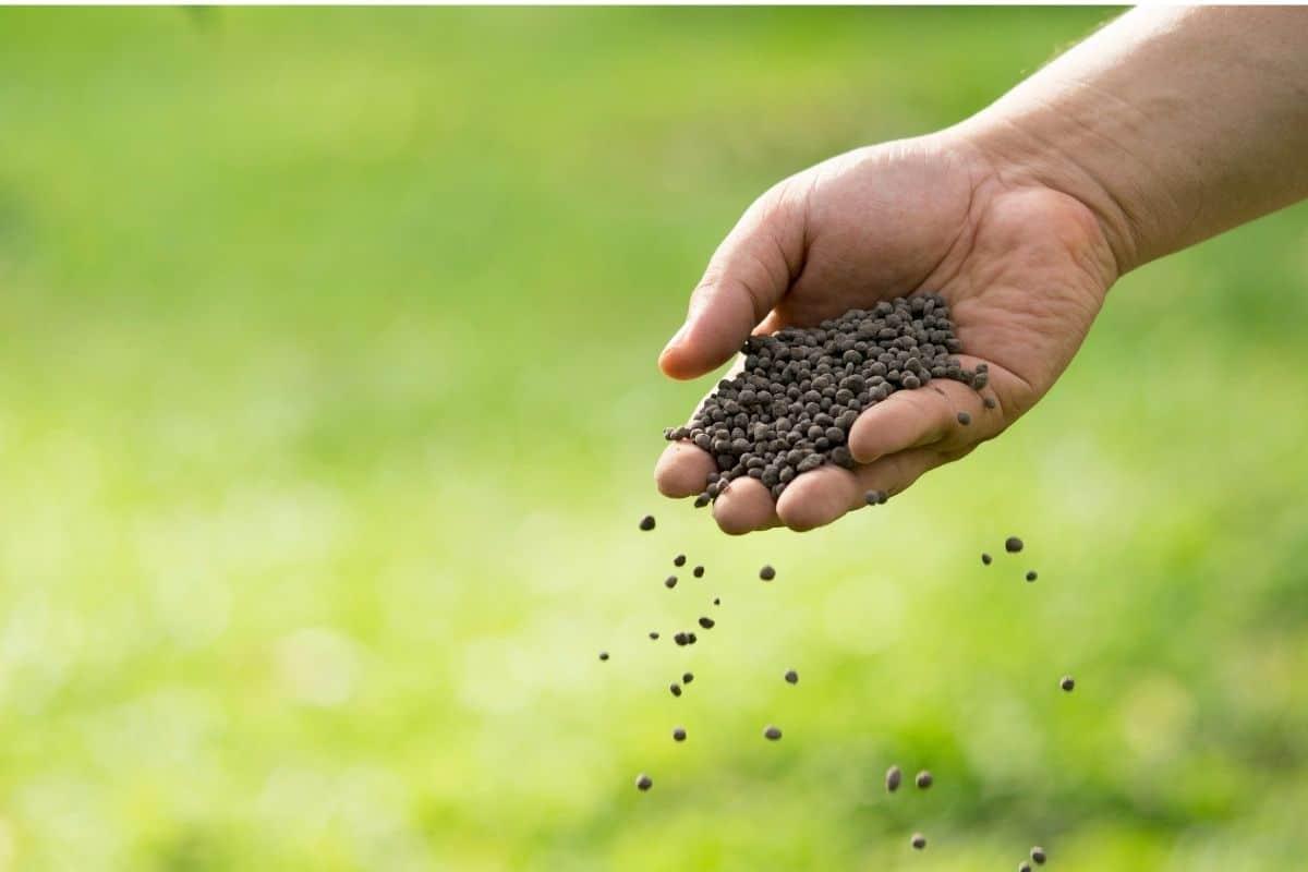 spreading fertilizer in the vegetable garden