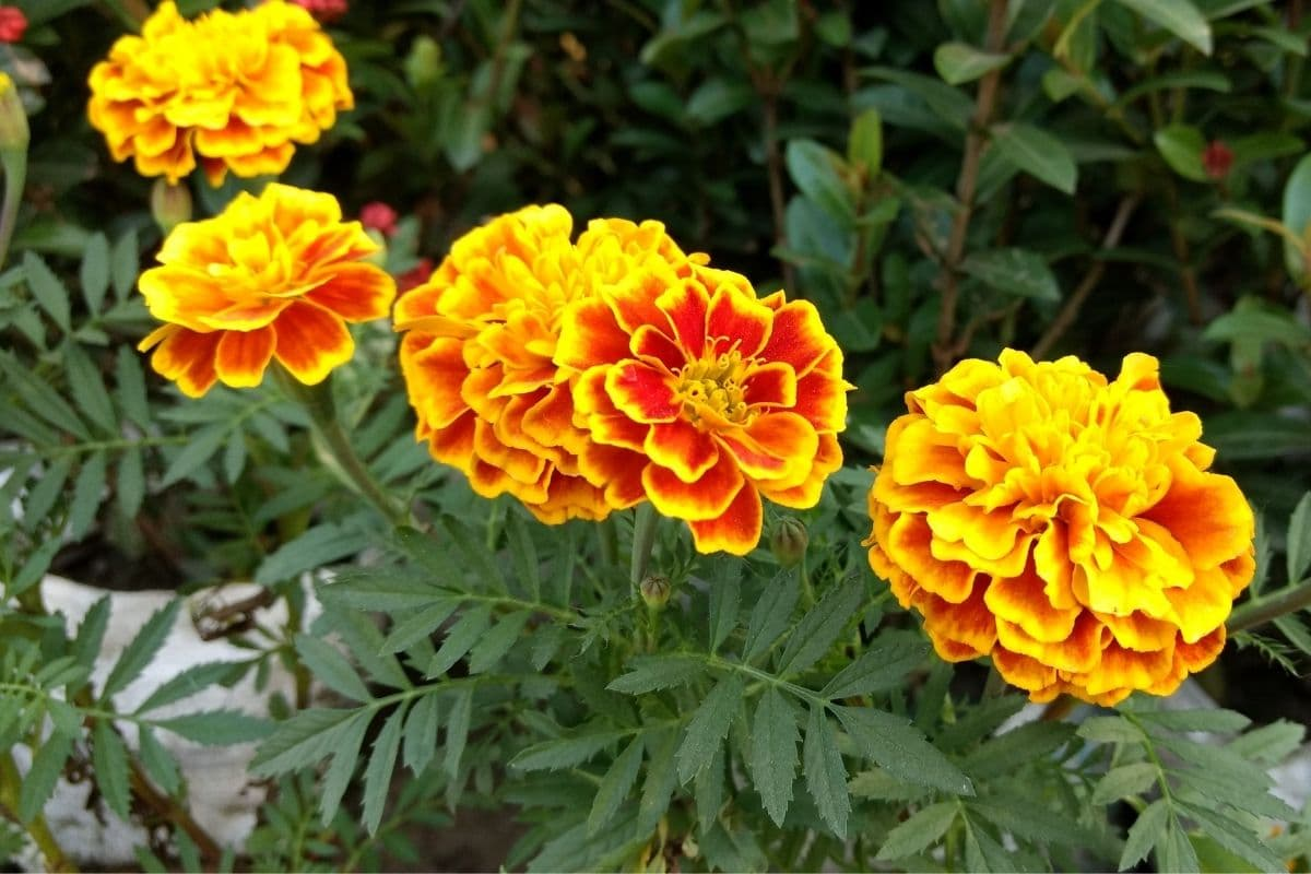blooming marigold in a pot