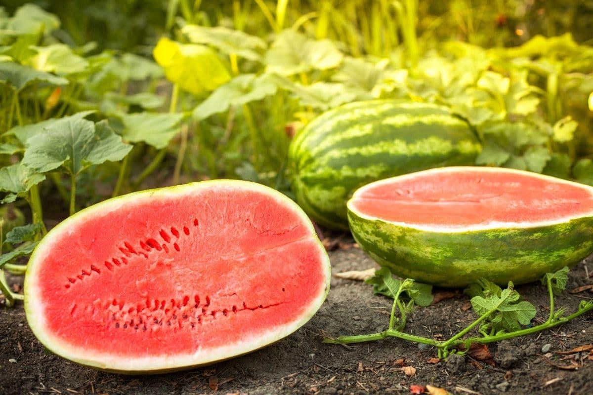 sliced watermelon into half in the garden