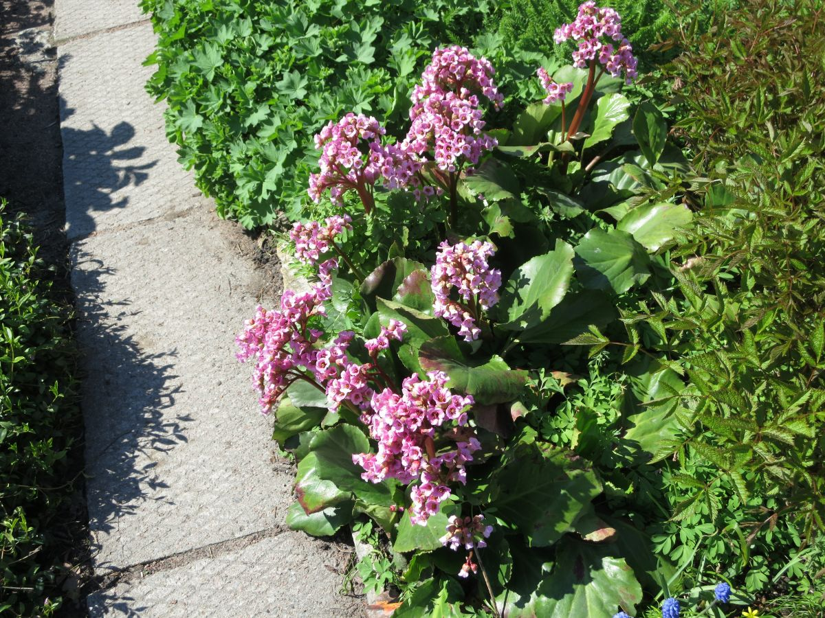 Purple Bergenia glowers blooming in the park