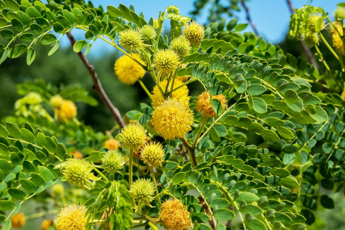 yellow golden lead ball tree close up picture