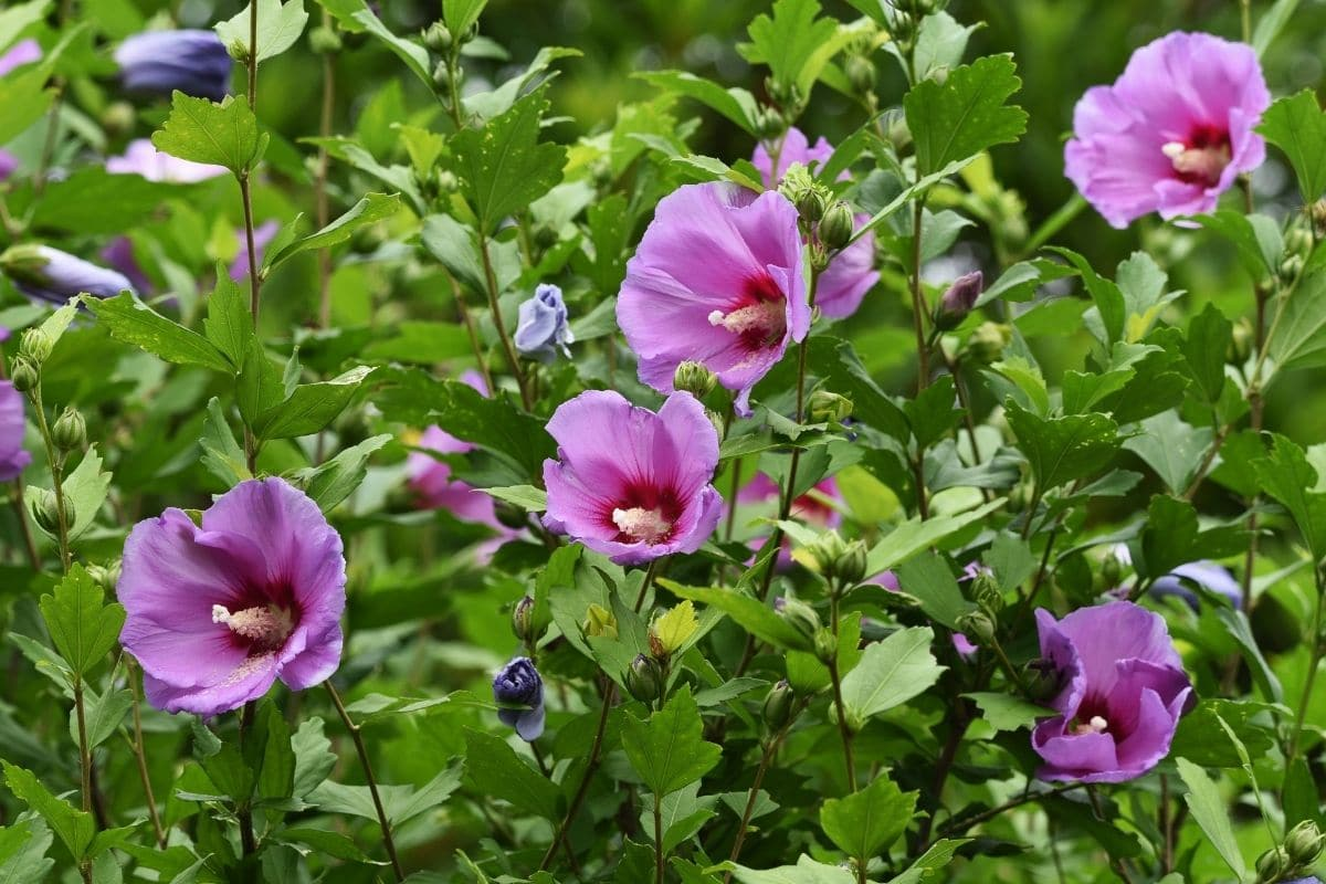 blooming purple rose of sharon in the garden