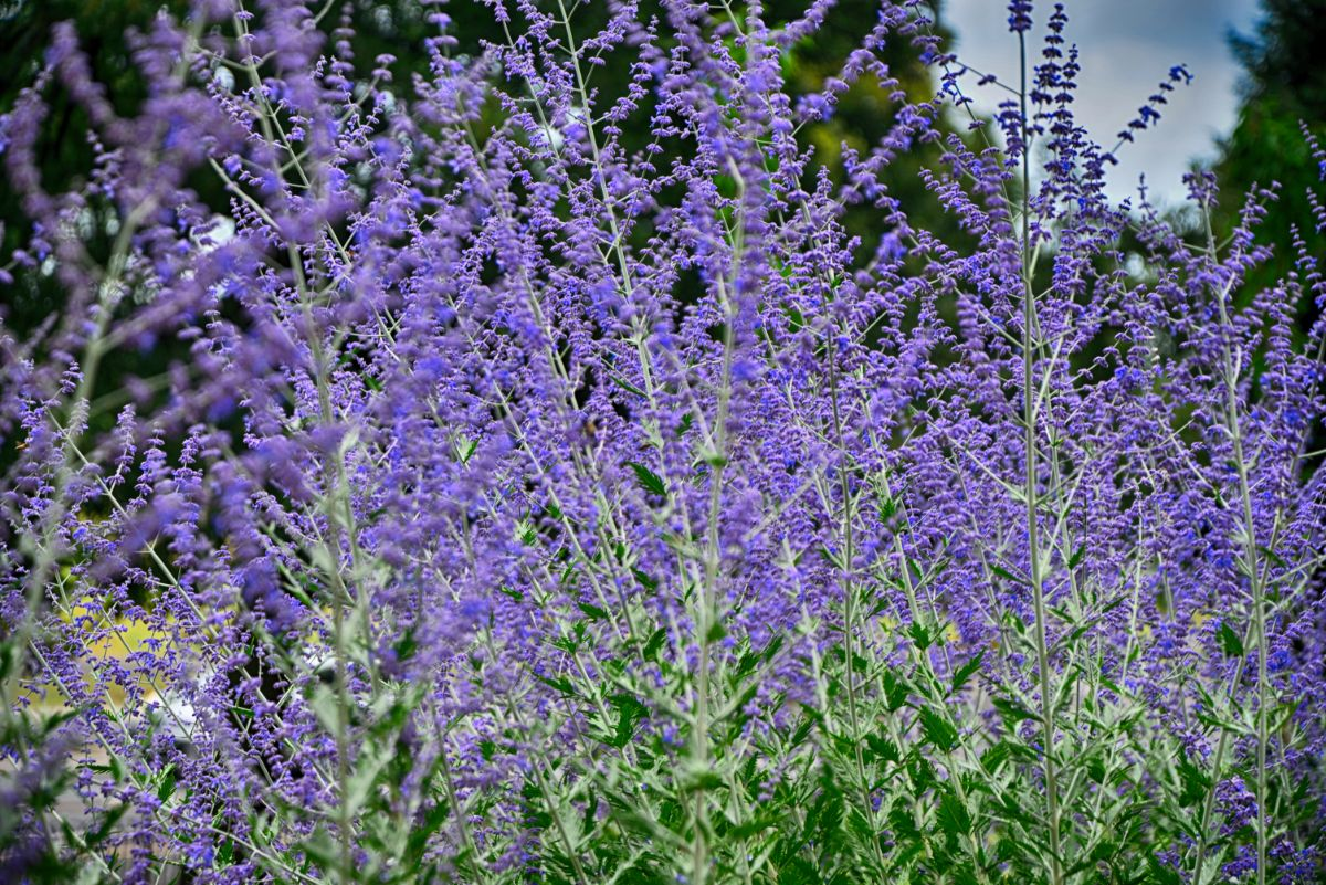 purple russian sage plant