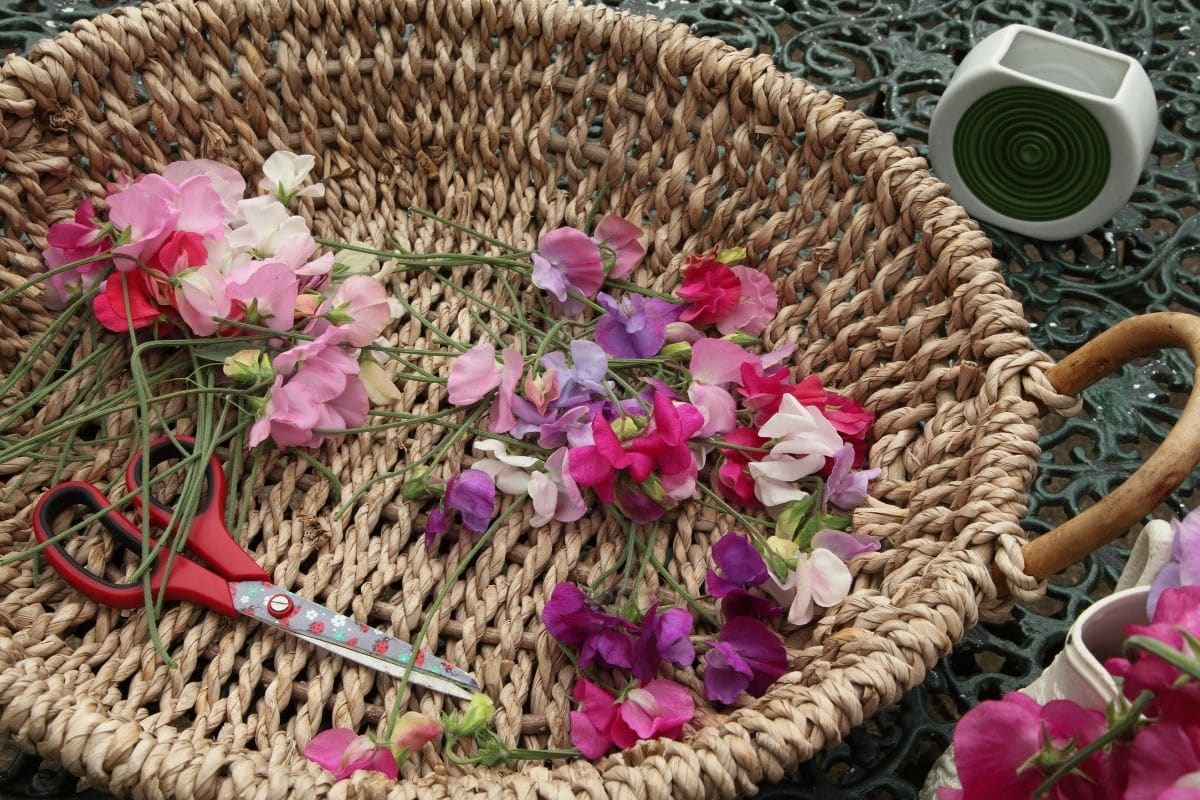 harvested flowers in a basket with scissors