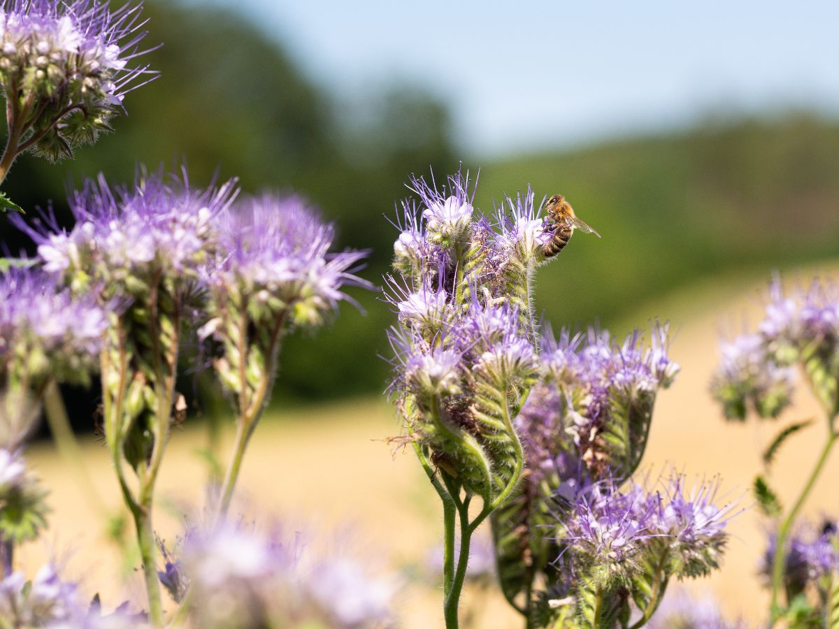 bee pollinating from a phacelia flower