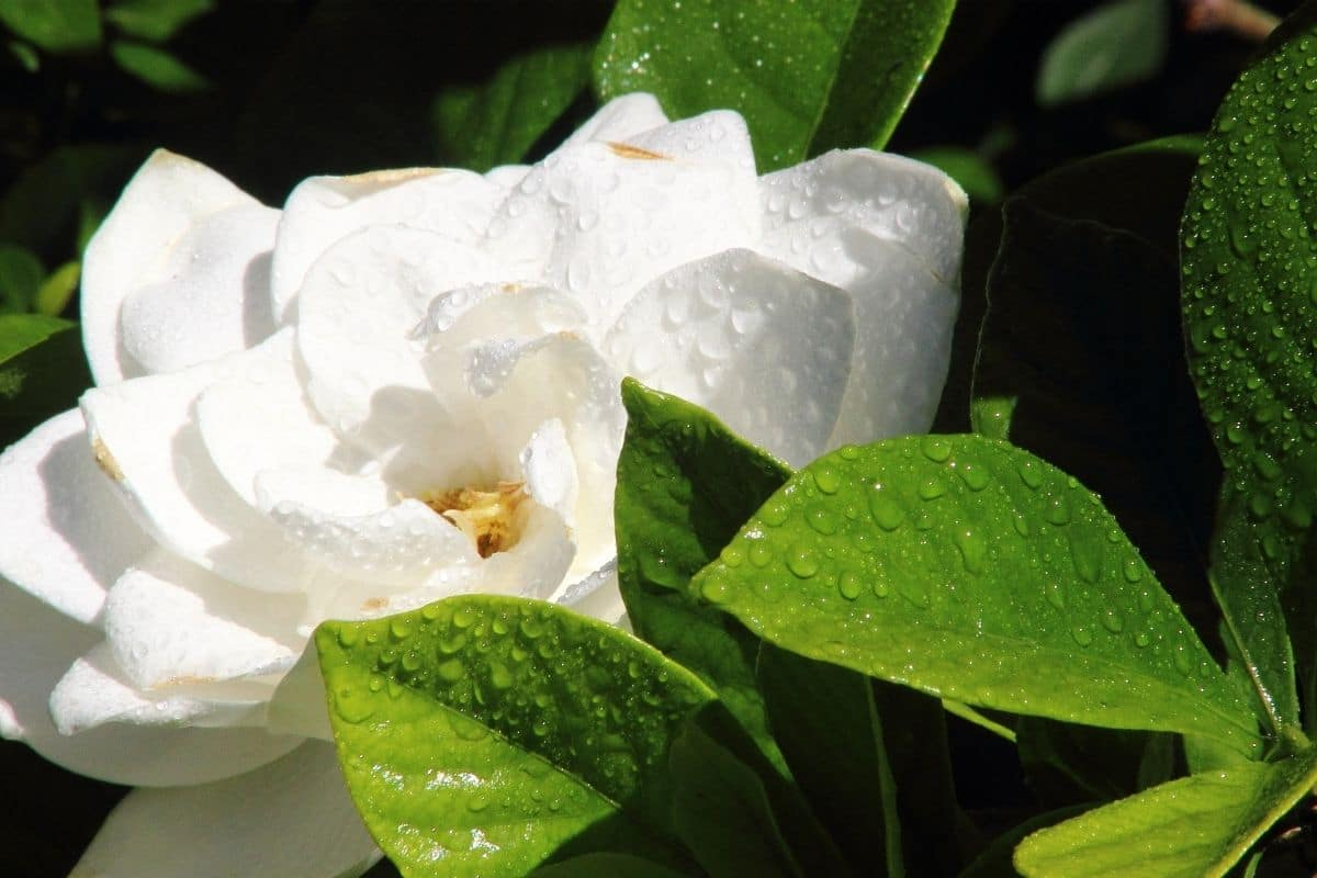white flower with droplets