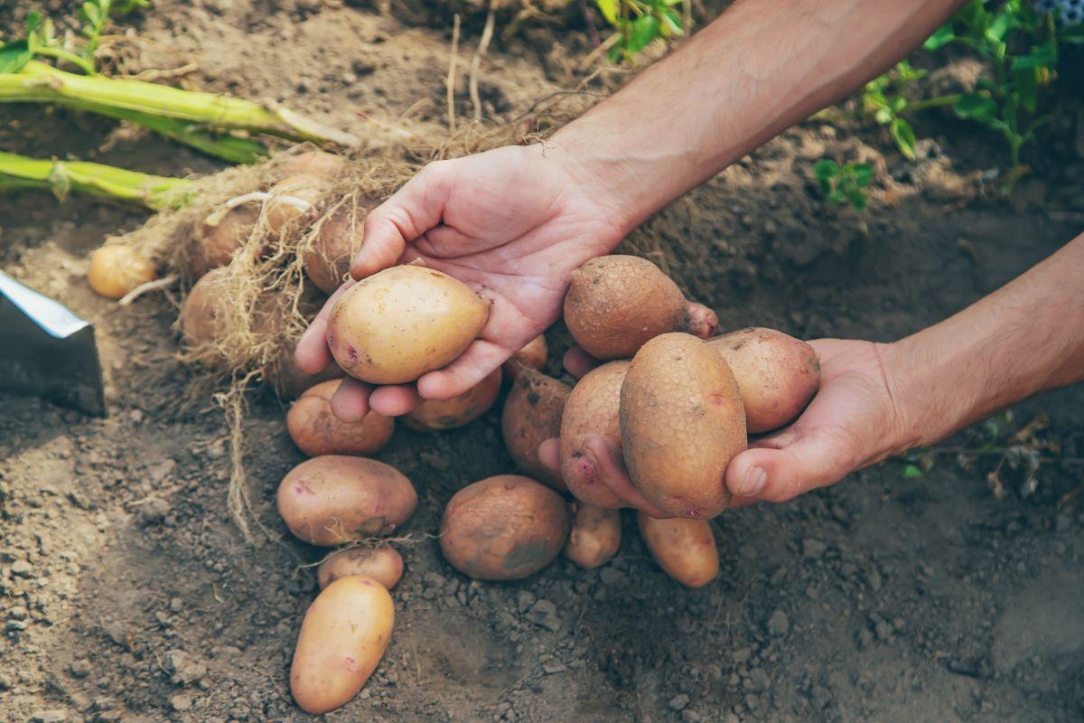 Harvesting Potatoes in the garden