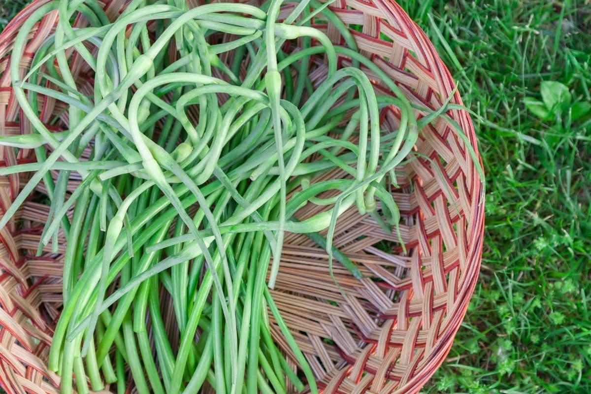 scapes of garlic in a basket