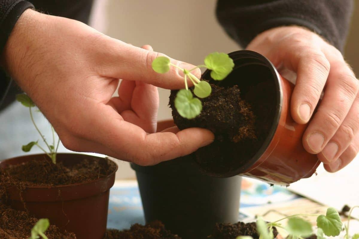repotting small plant