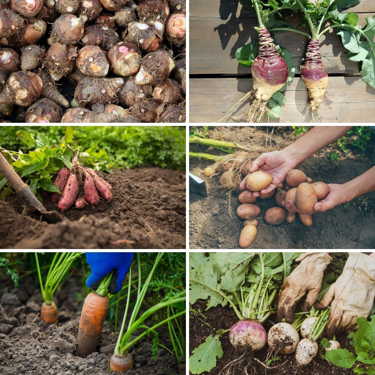 images of root vegetables you can grow in containers