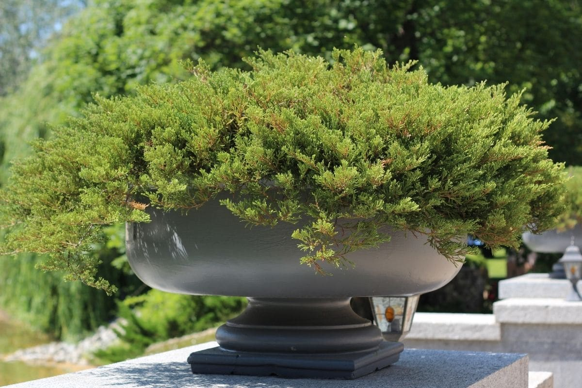 juniper shrub in a big flower pot