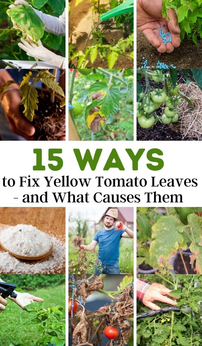 ways to fix yellow tomato leaves and what causes them