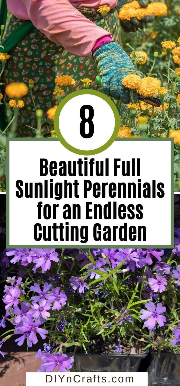 8 Beautiful Full Sunlight Perennials for an Endless Cutting Garden