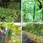 cucumber trellis 5