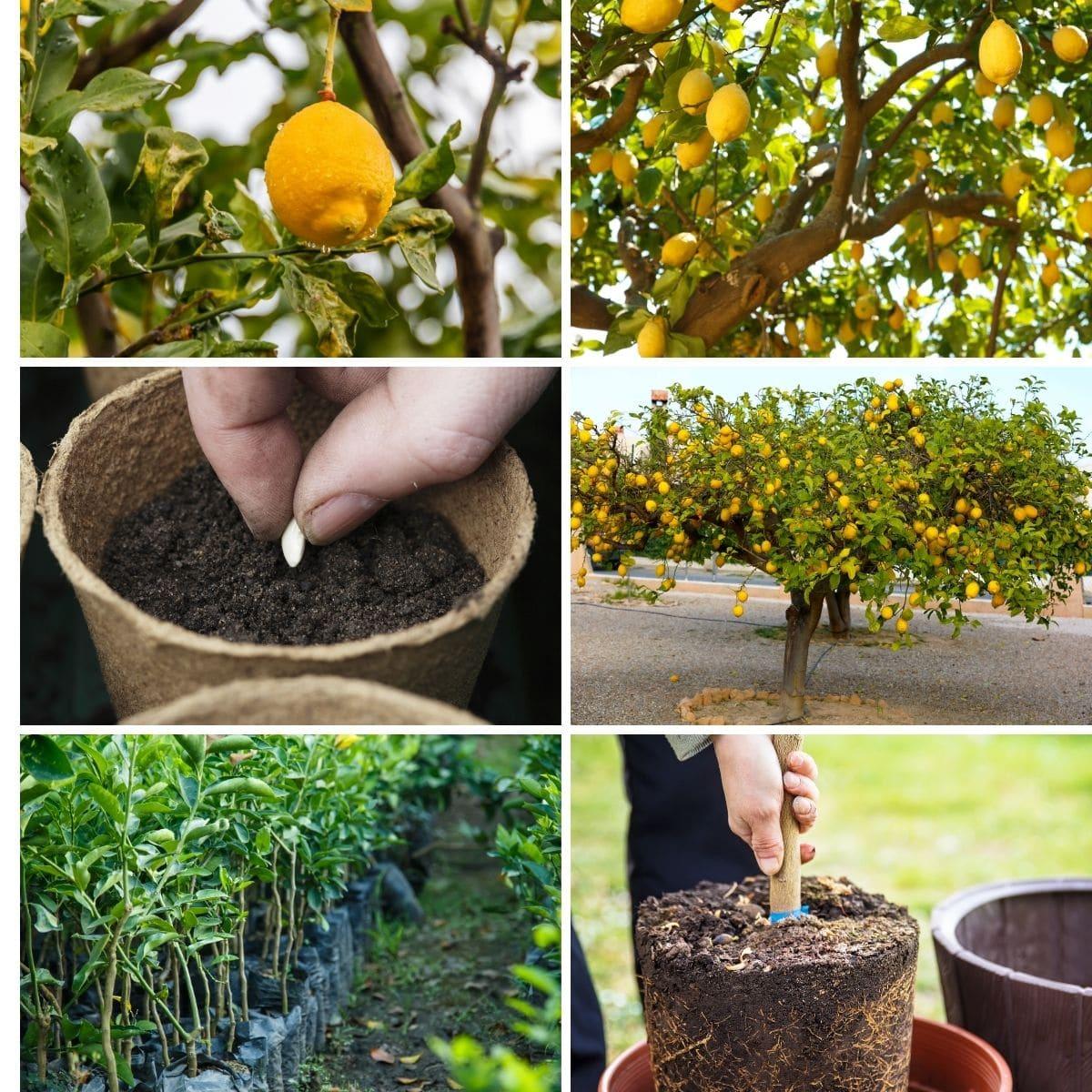 how to grow giant lemon tree