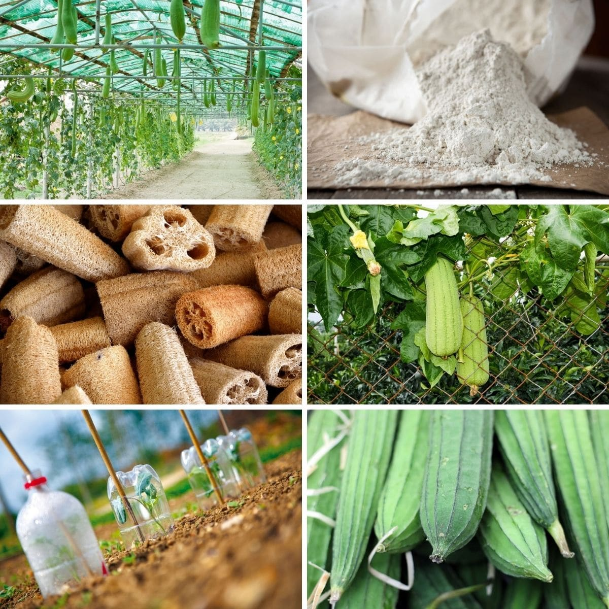 Loofah growth photos collage