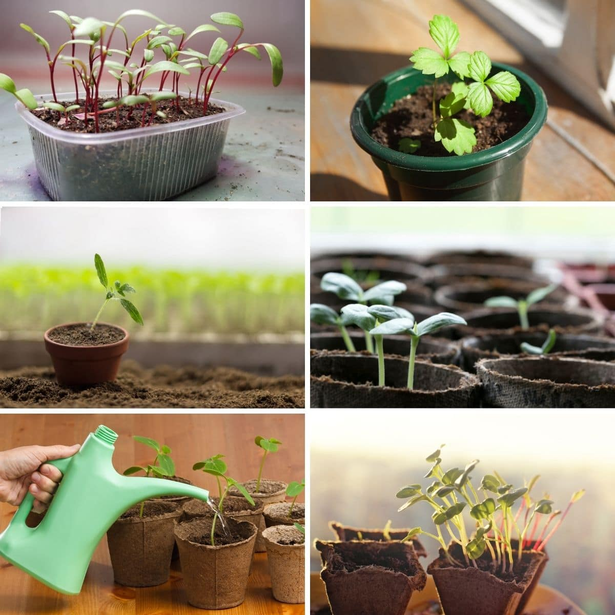 Ways to prevent and fix leggy seedlings images from the content in a collage photo.