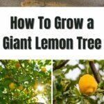 How To Grow a Giant Lemon Tree
