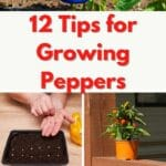 tips for growing peppers