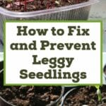 How to Fix and Prevent Leggy Seedlings