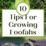 tips for growing loofah