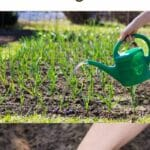 Ways to Propagate Garlic - and a Helpful Growing Guide