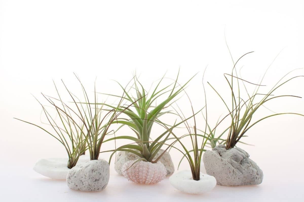air plants in stones