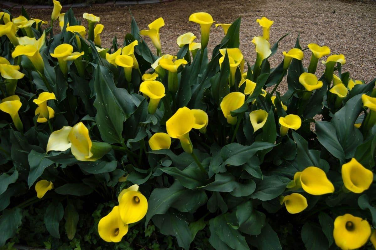 yellow calla lilies in the garden