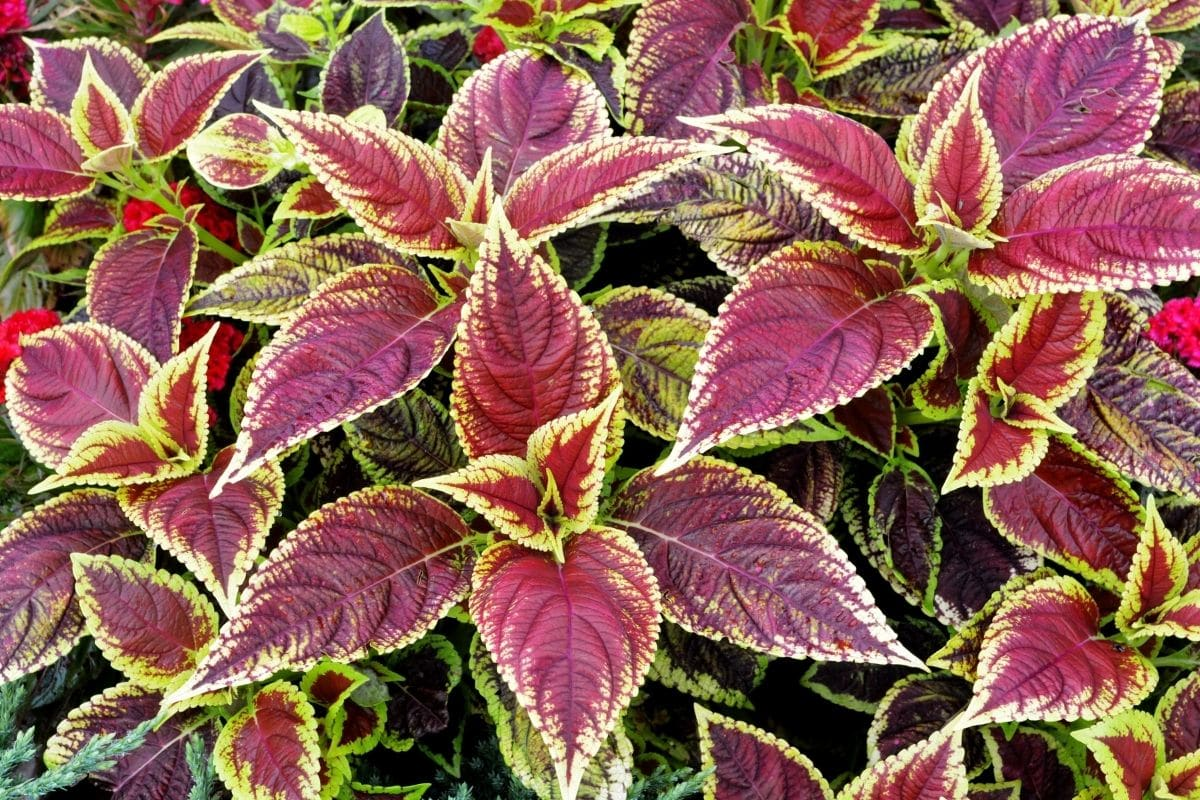 coleus plant with red and yellow, colored foliage