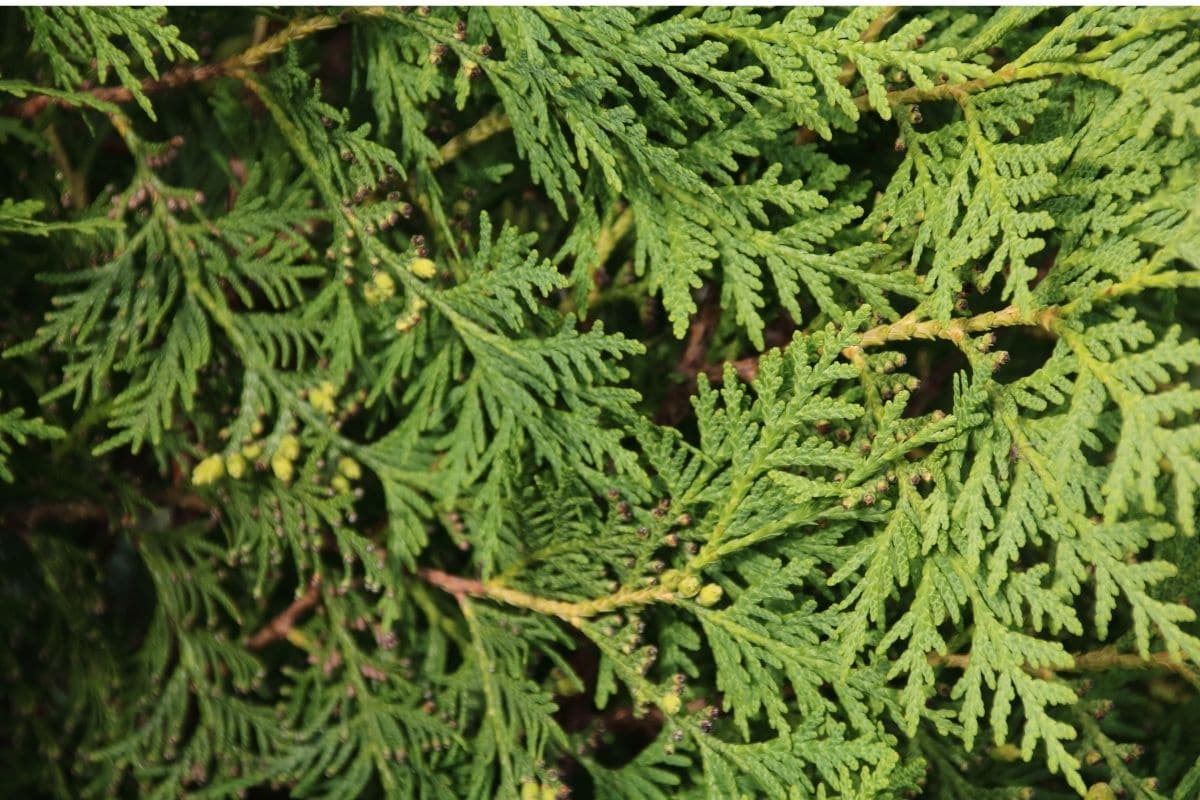False Cypress, an evergreen shrub in the garden