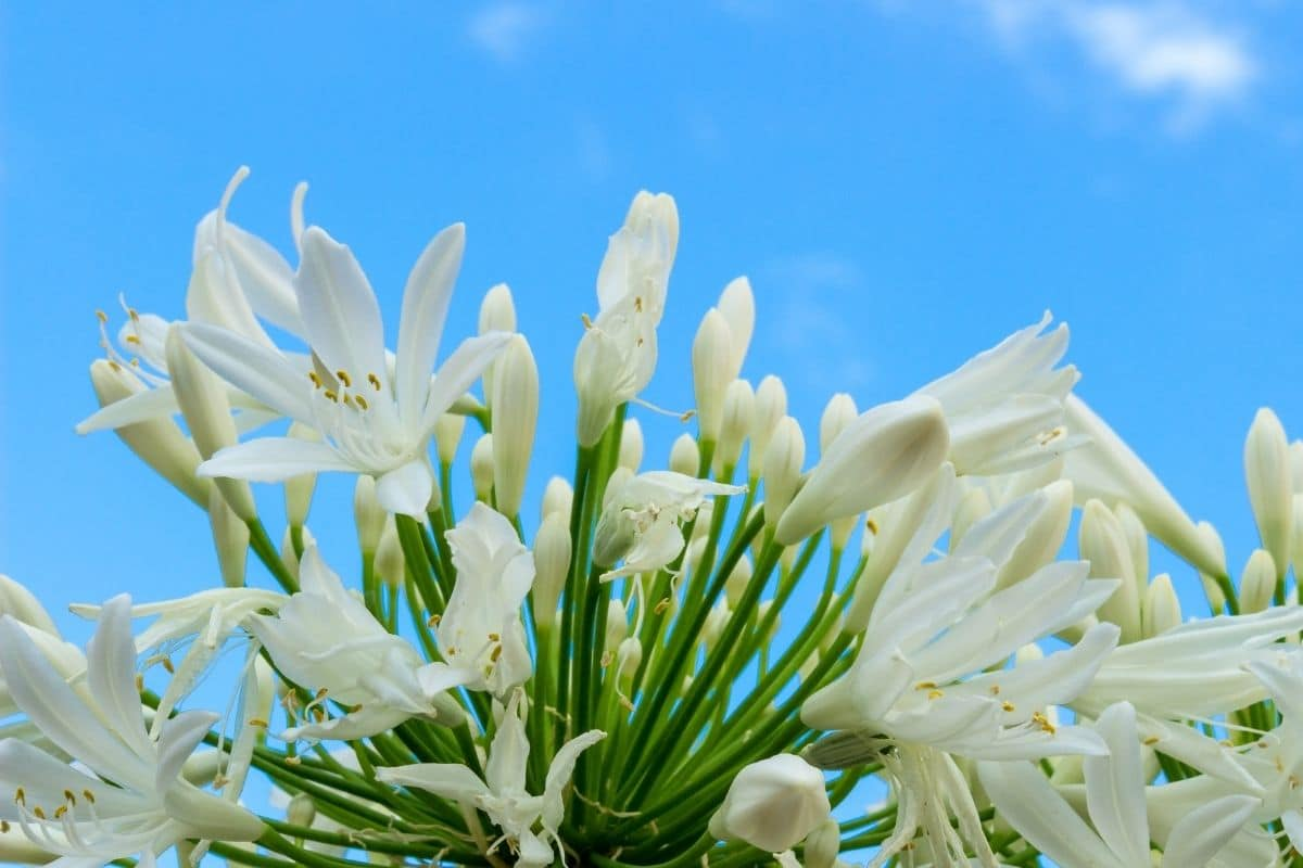 white Madonna Lilies against the blue sky