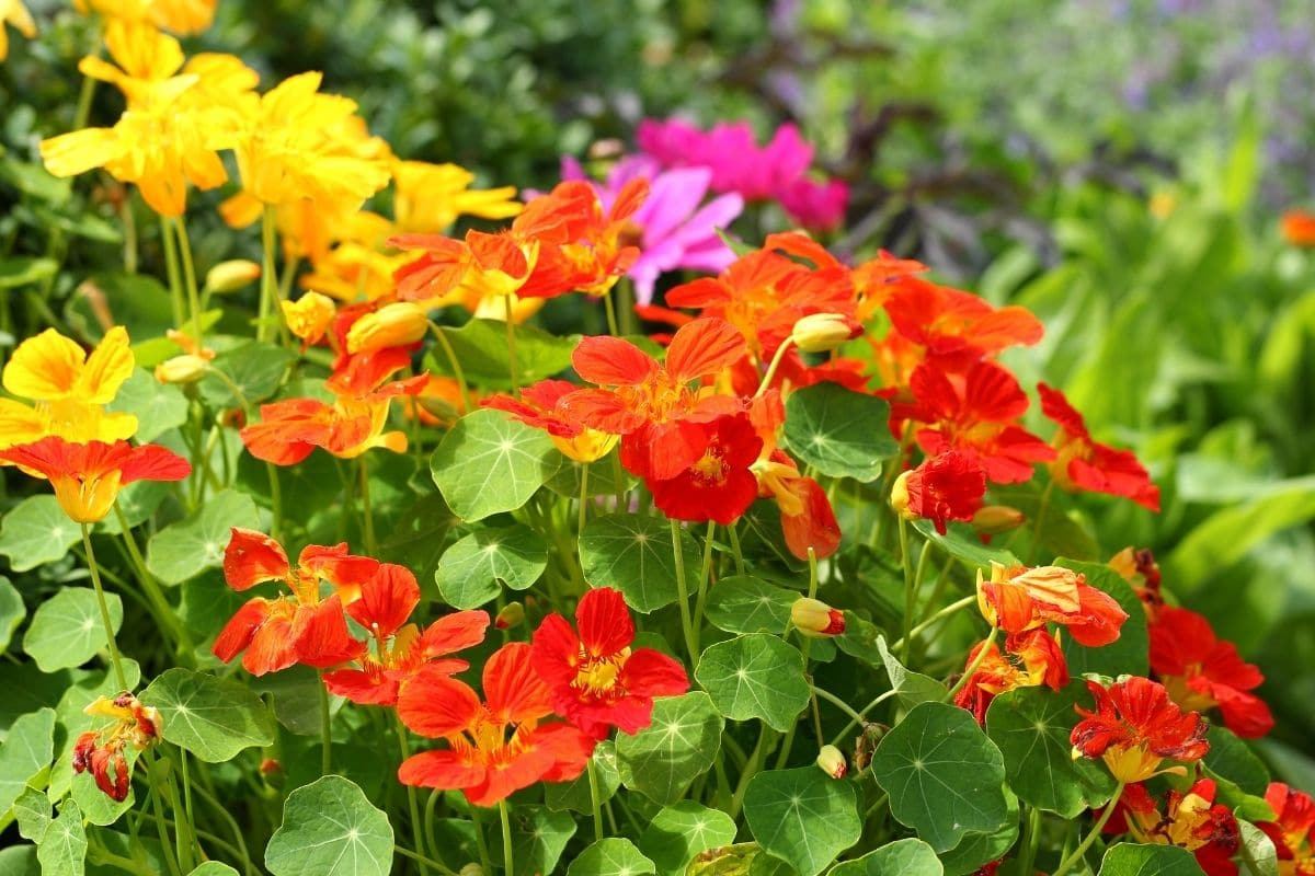 Nasturtiums flowers in different colors blooming in the garden along with other flowers