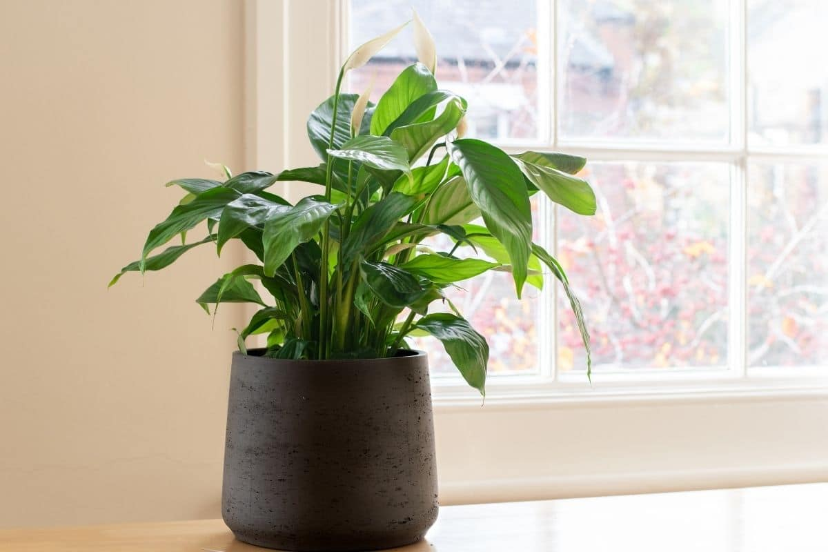 peace lily in a pot indoors by the windowsill