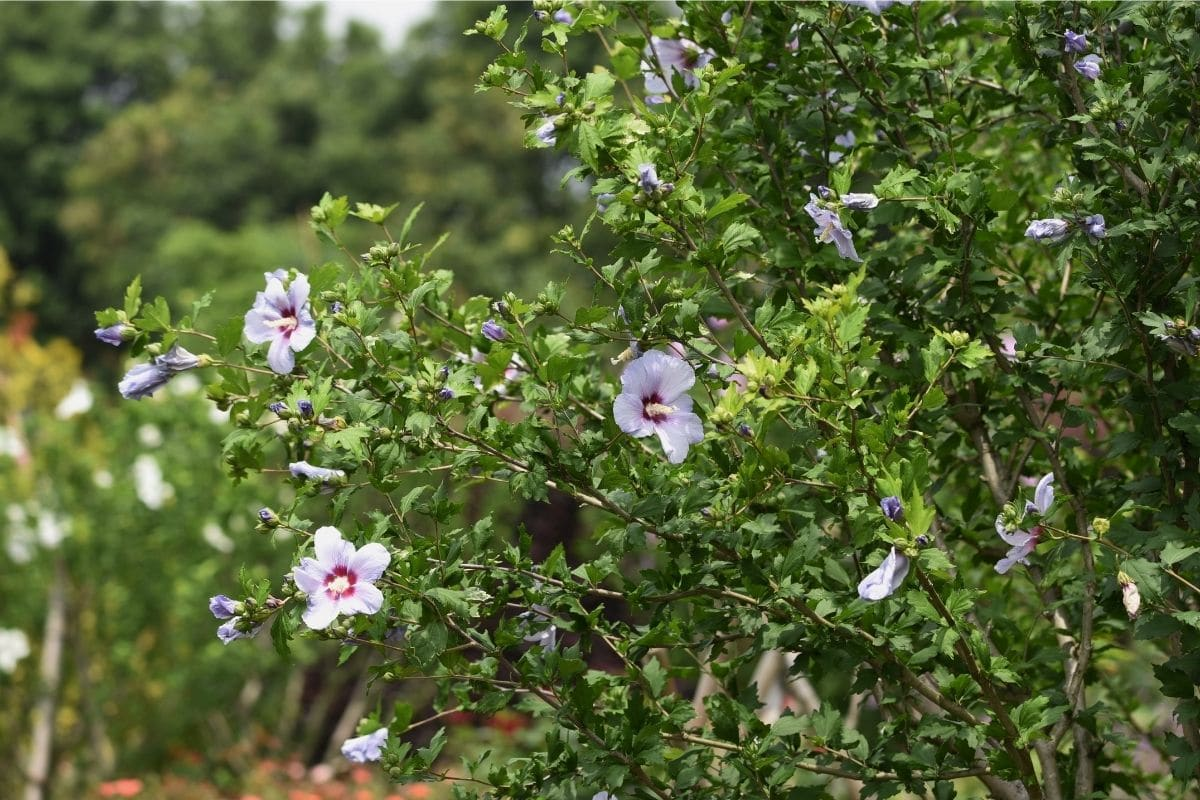 Rose of Sharon shrub with white flowers