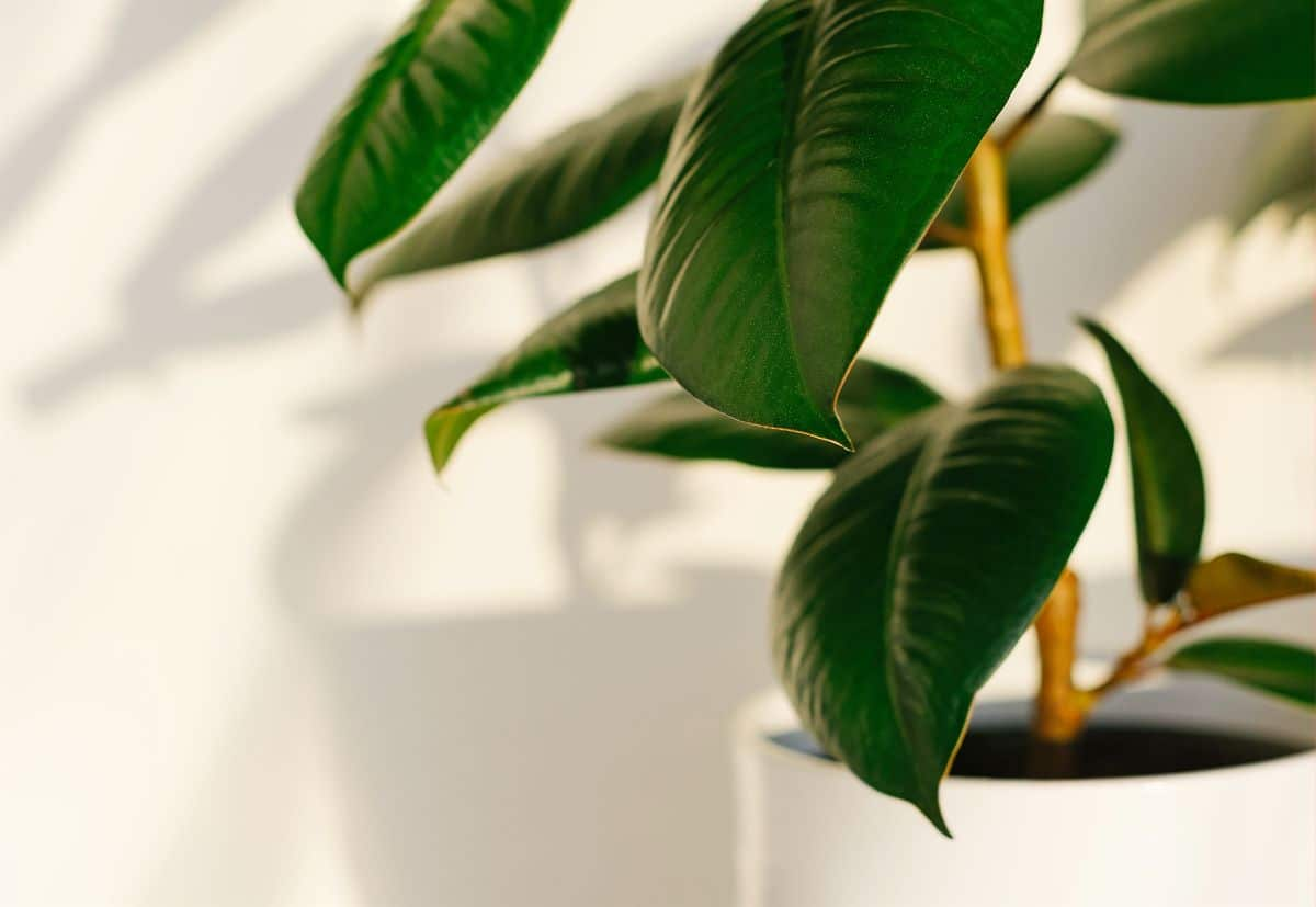 Rubber Plant in a white pot with its shadows in a white wall