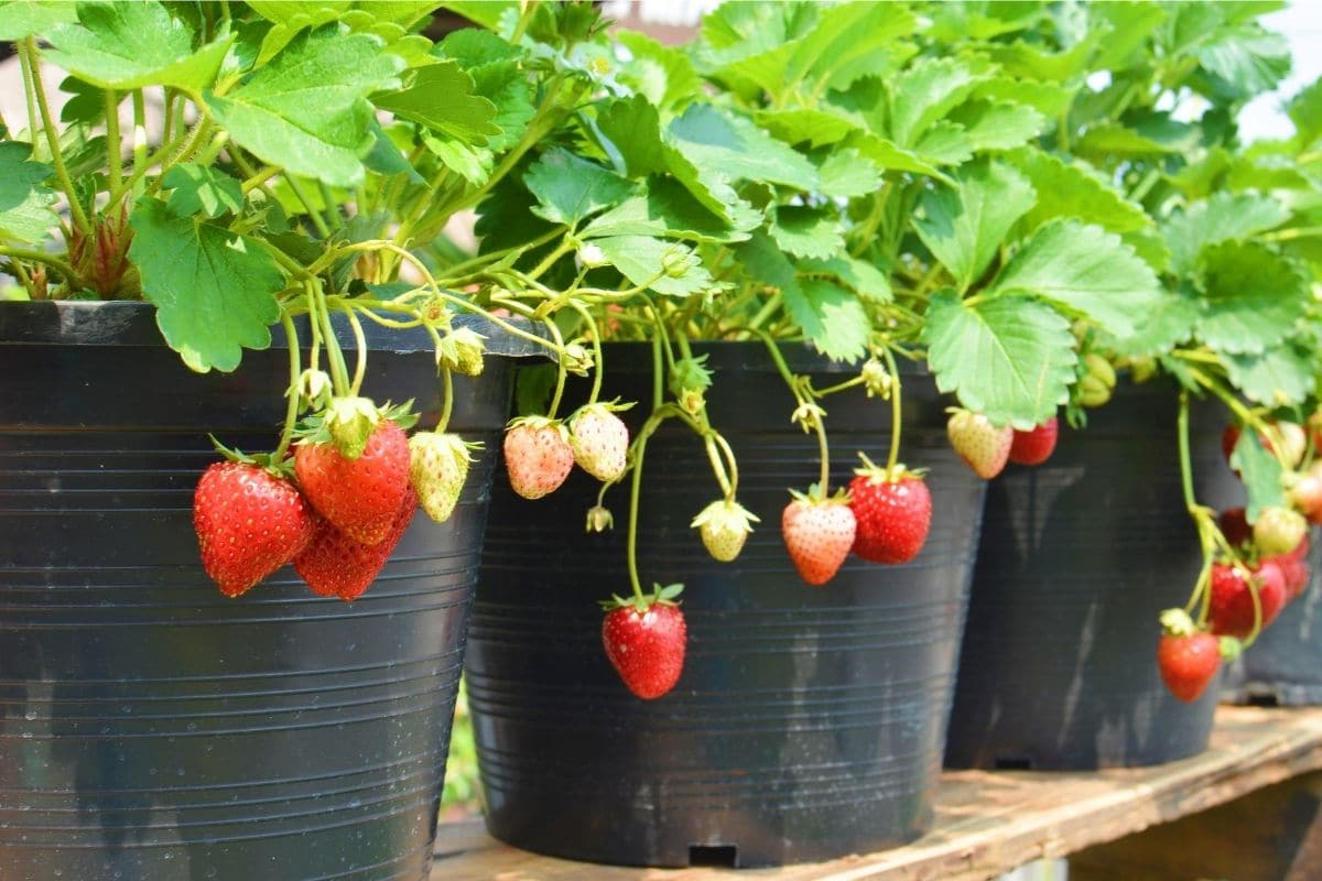 growing strawberry plant with hanging fruits in a pot