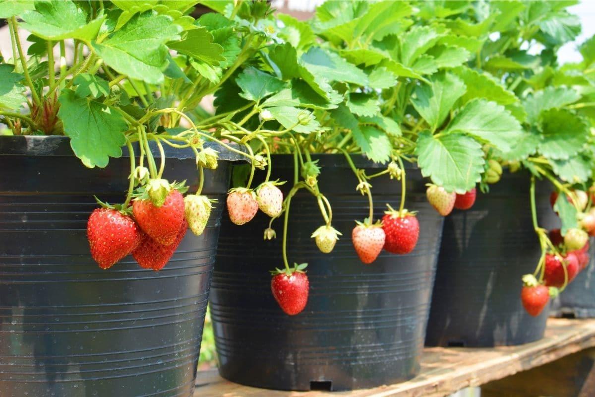 nagtubo nga tanum nga strawberry nga adunay nagbitay nga mga prutas sa usa ka kolon